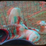 Recently-born lambs at the Animal Learning Center